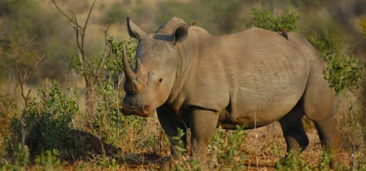 rinoceront matopos a reveure