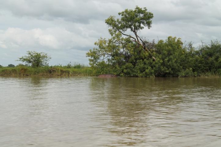 Hipopòtam al River Gambia National Park.JPG